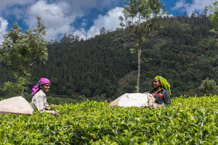 pluck: Nilgiri Hills, India - October 25, 2013: Two smiling women with colored head gear picking tea leaves while half submerged in field of tea shrubs. Shades of green. Clothing adds different colors. Blue sky. Editorial