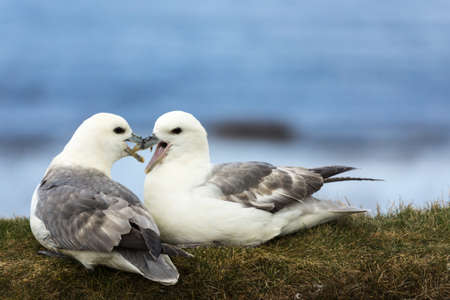 Closeup of two white-gray seagulls showing their affection for each other while seated on a dry grassy bank against the blue sky background. Their beaks are mingled.