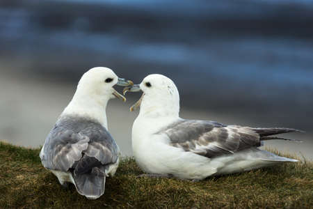 Closeup of two white-gray seagulls quarreling with each other while seated on a dry grassy bank against the dark blue sky background. Their beaks are mingled. Stock Photo