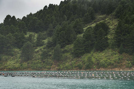floaters: Picton, New Zealand, Wide shot of the hundreds of floaters holding strings with growing mussels in Hitaua Bay. Silver sky and green forested mountain background.