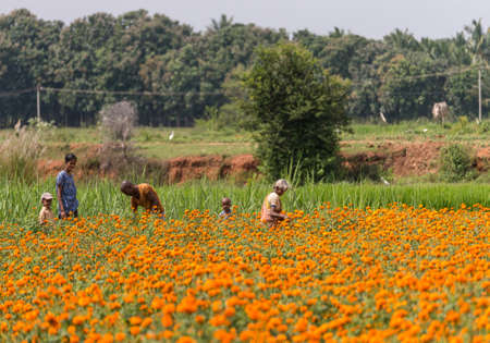 Mysore, India - October 27, 2013: In Ranganathapur, an older farm worker and a young family with two kids pick orange Marigold flowers out of a field that grows thousands. Rural scenery.