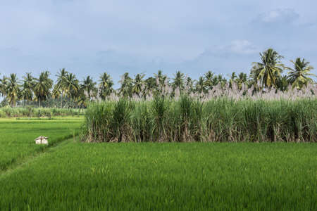 Mysore, India - October 27, 2013: In Senapathihalli village, rice, cane sugar and Coconut palm grow in close proximity under bluish sky. Shades of green and a beige scarecrow.