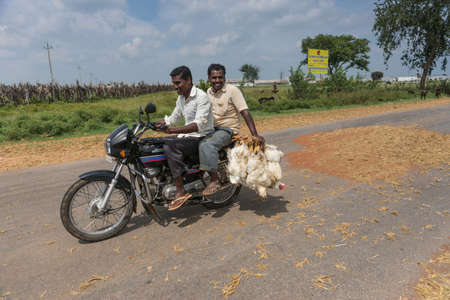 Mellahalli, India - October 27, 2013: Two young men on motorbike transport bunch of living chickens to market. Driving through landscape with fresh harvested buckwheat spread on road surface to be threshed by traffic.