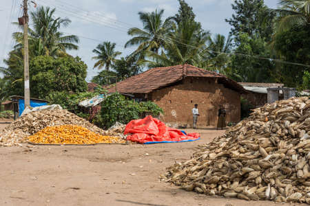 karnataka: Belathur, India - October 28, 2013: Farm house and farmer with piles of corn cobs, freshly harvested and others peeled and ready for transport. Green tree background.