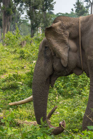 Closeup of head of single tusk male elephant standing in the green jungle.