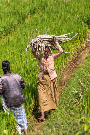 Chikkavoddaragudi, Karnataka, India - November 1, 2013: Womand walking along green rice paddy carries harvested bundle of sugar cane stalks on her head. Other woman in photo.