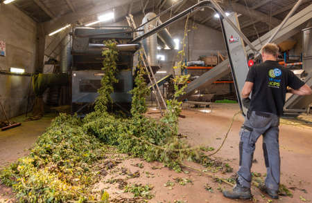 Proven, Flanders, Belgium - September 15, 2018: Inside barn, man connects freshly harvested hops plant strings to picking machine which separates the cones from the rest.