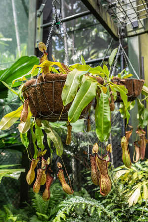 Cairns, Australia - February 17, 2019: Botanical Garden. Of the Nepenthaceae family, Nepenthes Ventricosa Truncata, or Tropical Pitcher Plant, native to the Philippines catches and digest insects in its vase-like contraption. Stock Photo