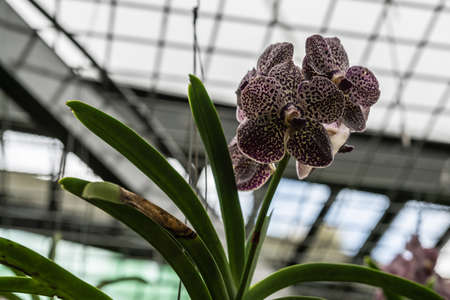 Cairns, Australia - February 17, 2019: Closeup of white and purple orchids in glasshouse of Botanical Garden.