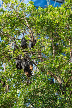 Cairns, Australia - February 17, 2019: Closeup of black and brown Flying Foxes, mega-bats, hanging in green trees on corner of Abbott and Aplin streets downtown. 1 of 5.