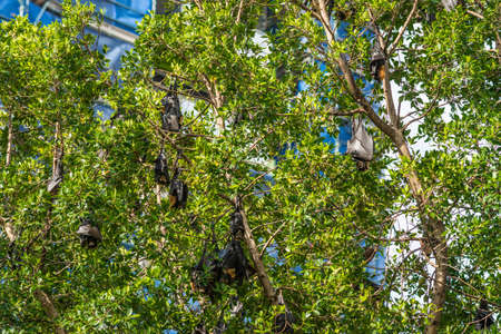 Cairns, Australia - February 17, 2019: Closeup of black and brown Flying Foxes, mega-bats, hanging in green trees on corner of Abbott and Aplin streets downtown. 2 of 5. Stock Photo