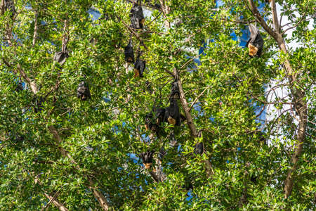 Cairns, Australia - February 17, 2019: Closeup of black and brown Flying Foxes, mega-bats, hanging in green trees on corner of Abbott and Aplin streets downtown. 3 of 5.