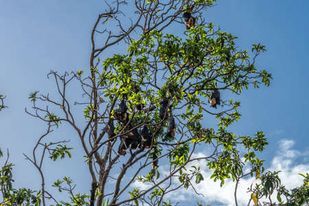 Cairns, Australia - February 17, 2019: Closeup of black and brown Flying Foxes, mega-bats, hanging in green trees on corner of Abbott and Aplin streets downtown. 4 of 5.