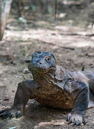 Komodo Island, Indonesia - February 24, 2019: Komodo National Park. Frontal closeup of Komodo Dragon on alert in the wild, lying on dirt in shade and rising head. Stock Photo