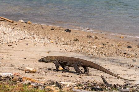 Komodo Island, Indonesia - February 24, 2019: Komodo National Park. Young Komodo Dragon walks the beach. Stock Photo