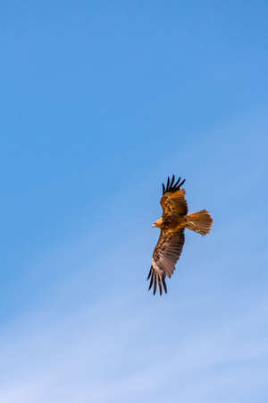 Melbourne, Australia - November 15, 2009: Black Brown Wedge-tailed eagle in flight against full blue sky.