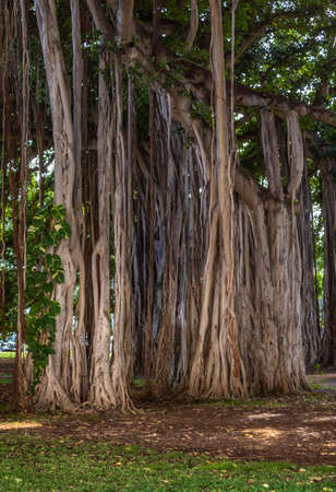 Honolulu  Oahu, Hawaii, USA. - January 10, 2012: Brown roots and trunk of giant banyan tree in park. Green foliage and lawn.