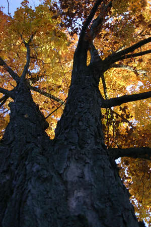 treed: Fall Treed looking up