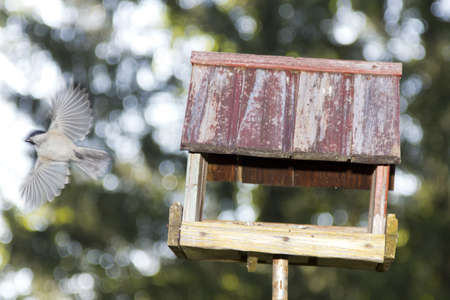 High speed shot - Willow tit flying from old bird house in the park photo