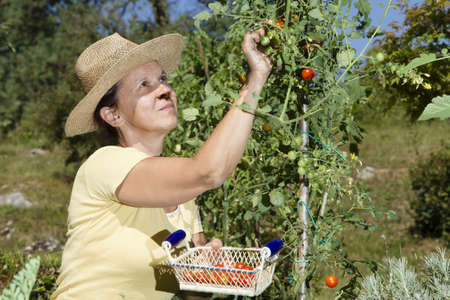 Mid aged woman picking organic cherry tomato in her garden on sunny summer day photo