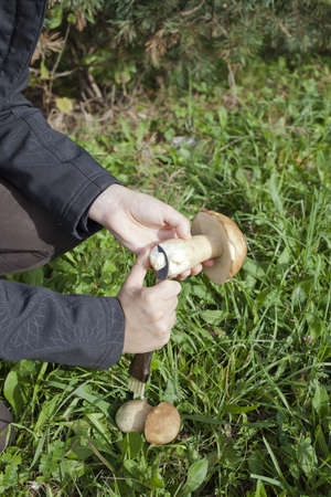 Cleaning mushroom Boletus Edulis with special knife, on sunny autumn afternoon photo