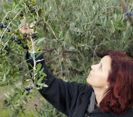 Cute brunette woman collecting organic olives on sunny autumn day photo