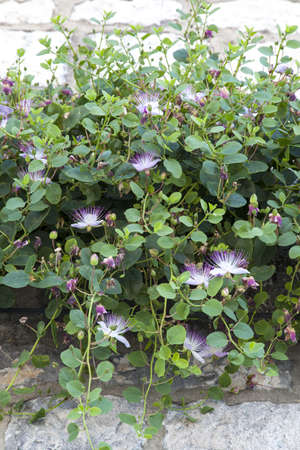 Wild capers growing in Mediterranean Stone Wall with many blooming purple capparis flowers photo