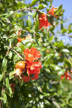 Bees pollinate blooming pomegranate tree photo