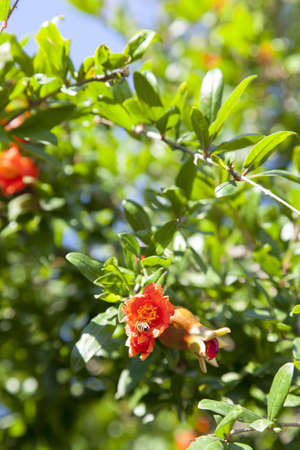 pollinate: Bees pollinate blooming pomegranate tree