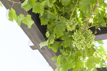 Fresh Green grapes on vine, summer sun lights, space for text photo
