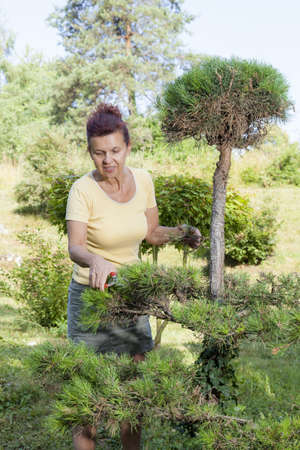 Cute mid aged Woman trimming natural pine bonsai tree, focus on scissors  photo