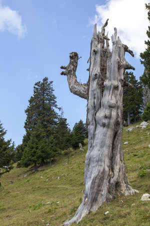 struck: Scary woody old tree in the mountains, struck by lightning