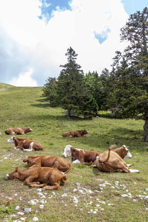 Cows lying on mountains pasture, space for text  photo