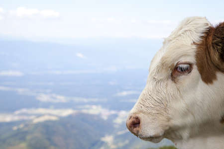 Portrait of a calf, high in the mountain, selective focus, space for text photo