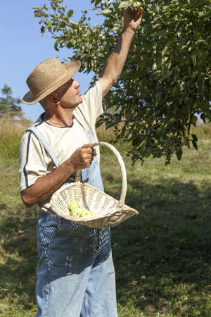 Happy gardener with straw hat and bib overalls picking organic apples from an apple tree on a lovely sunny summer day Stock Photo