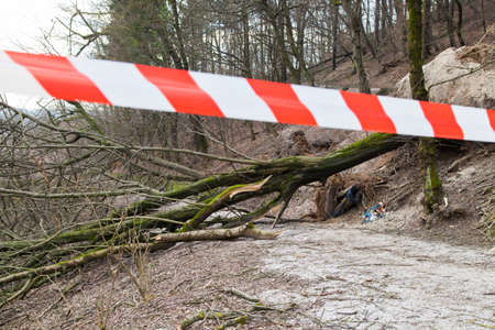 closed ribbon: Road closed with safety ribbon, uprooted trees blocked forest road,after sleet storm