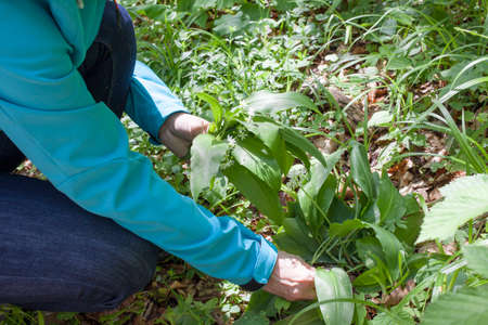 Close-up of hands picking, harvesting Ramsons  Allium ursinum , also known as buckrams, wild garlic, broad-leaved garlic, wood garlic or bear s garlic, is a wild relative of chives  photo