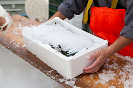 Fishermen covering with ice fresh sardines, before the transport photo