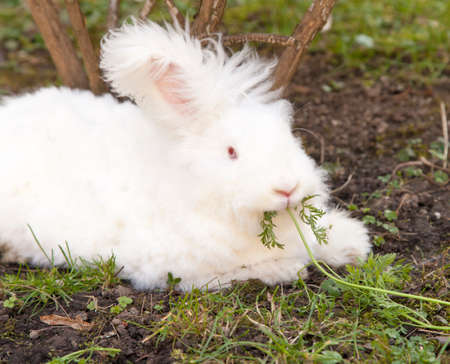 Cute fluffy angora bunny rabbit sitting on grass and eating parsley Stock Photo