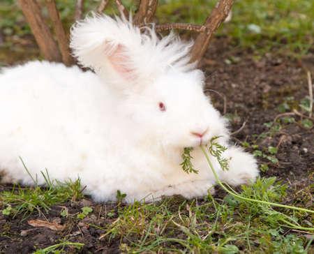 Cute fluffy angora bunny rabbit sitting on grass and eating parsley Standard-Bild