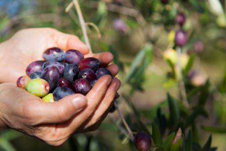 Handful of freshly-harvested organic olives, hands showing freshly picked olives, next to tree Standard-Bild
