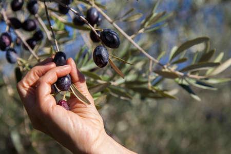 Harvesting organic olives by hand, on sunny autumn day Standard-Bild