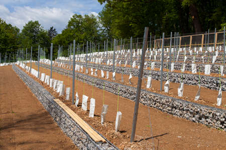 wine stocks: Perspective of young vine stocks, new plantation, covered with ecological protection bags, in a new modern vineyard, built with stone fence baskets