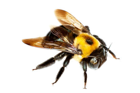 yellow and black bumblebee on white Stock Photo