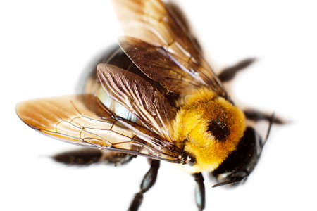 yellow and black bumblebee on white Stock Photo