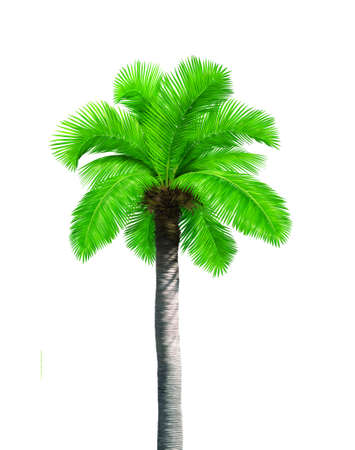 grown ups: Big single coconut tree palm isolated on white background Stock Photo