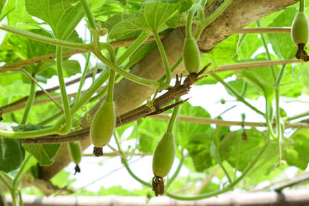 Three fresh beautiful green colored bottle gourd buds hanging from a wooden fence