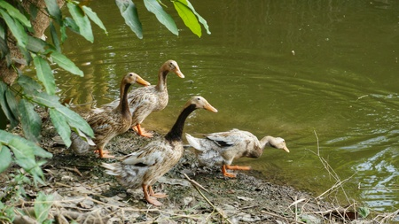 Several Ducks at Pond looking into the Water