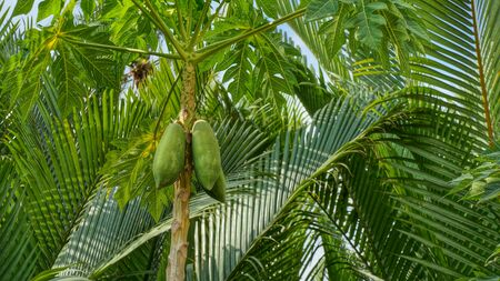 One papaya tree with green ripe papaya fruits