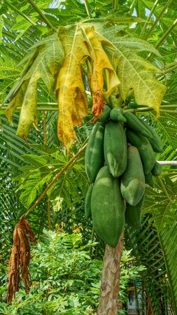 papaya flower: Papaya Tree with green fruits in Forest
